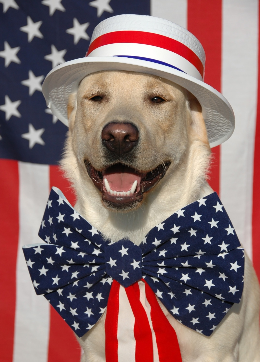 Patriotic Labrador dog with USA costume